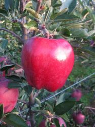 ROAT (Prov. PBR) KING Red Delicious (R)